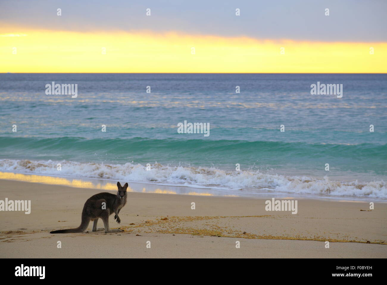 A single kangaroo on the beach at Depot Beach in Murramarang National Park, New South Wales, Australia. Stock Photo
