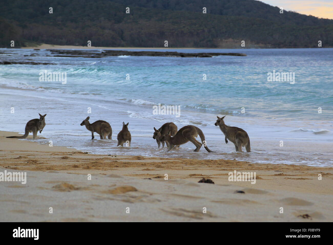 A small mob of kangaroos in the surf at Depot Beach in Murramarang National Park, New South Wales, Australia. - Stock Image