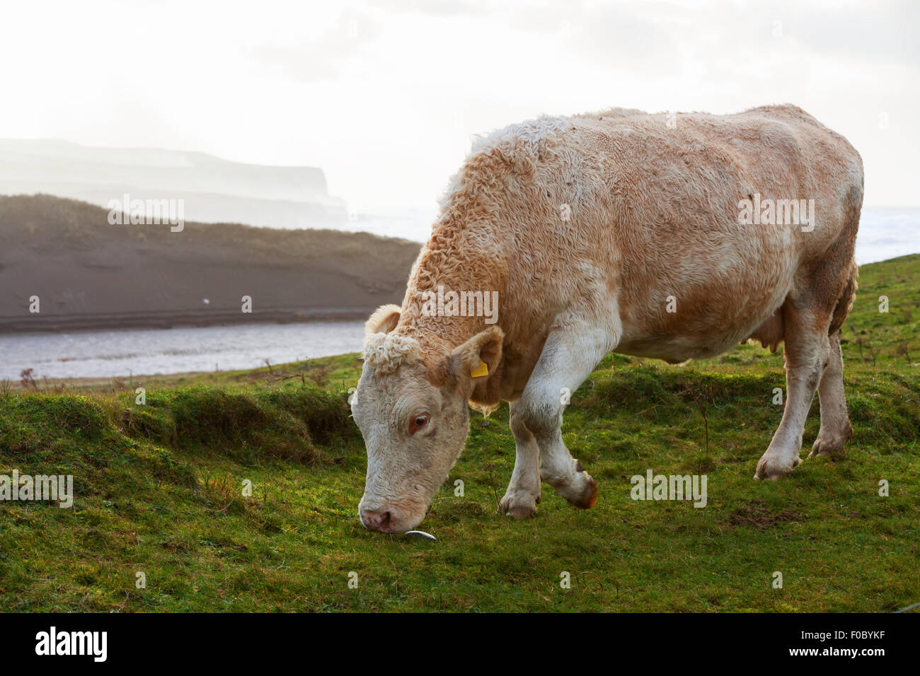 Cows grazing in the field on the west coast of Ireland. - Stock Image