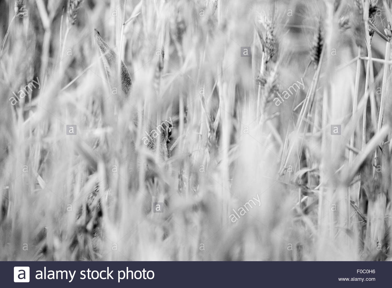 A Brown Hare in a field of wheat. - Stock Image