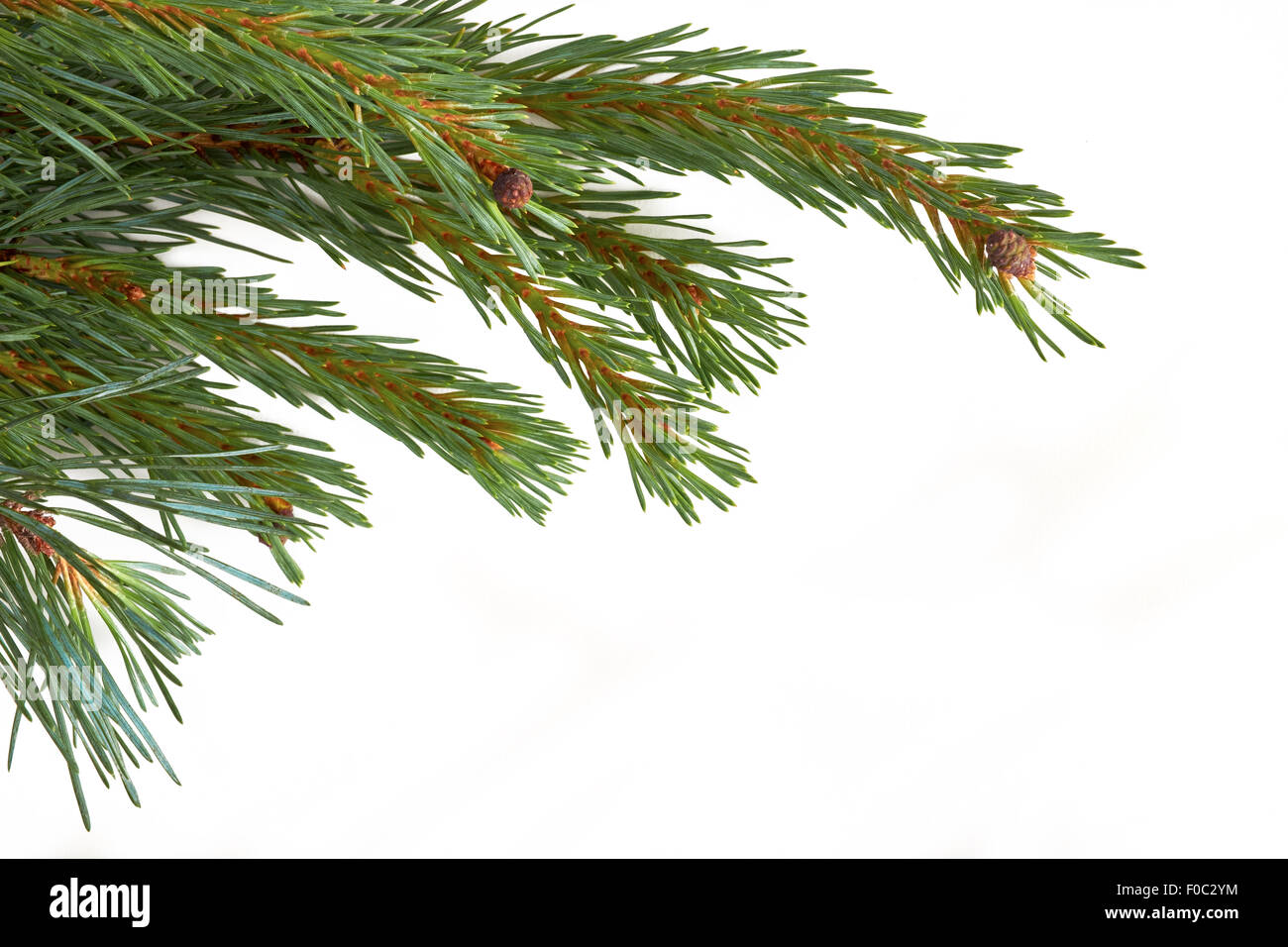 Isolated Christmas Tree branch isolated on a white background. - Stock Image