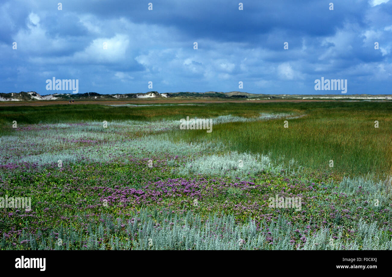 Salzwiesen, texel - Stock Image