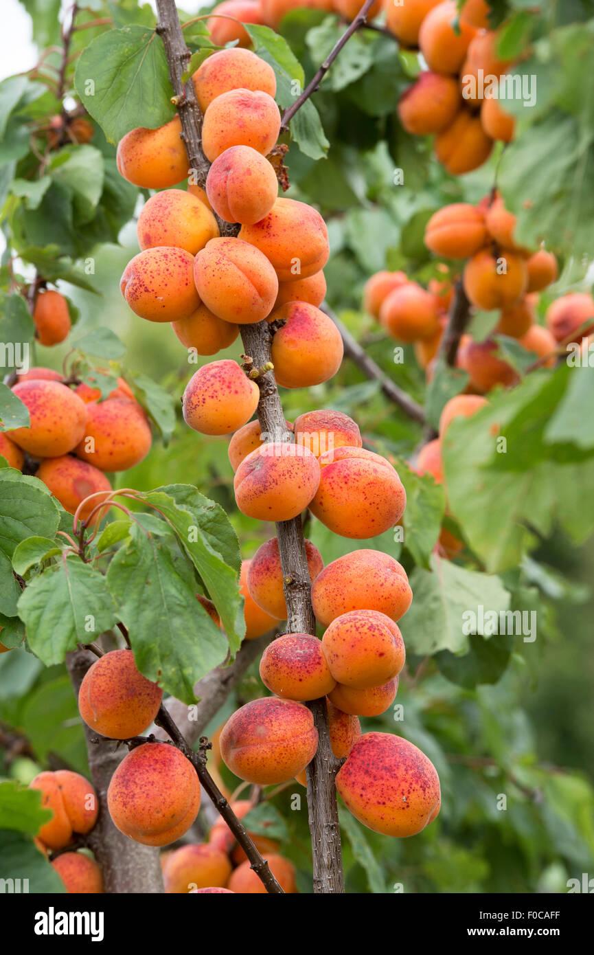 Prunus armeniaca 'Moorpark'. Apricot 'Moorpark' on the tree - Stock Image