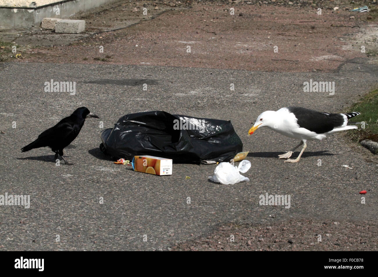 Rook and Great Black-backed Gull with rubbish - Stock Image