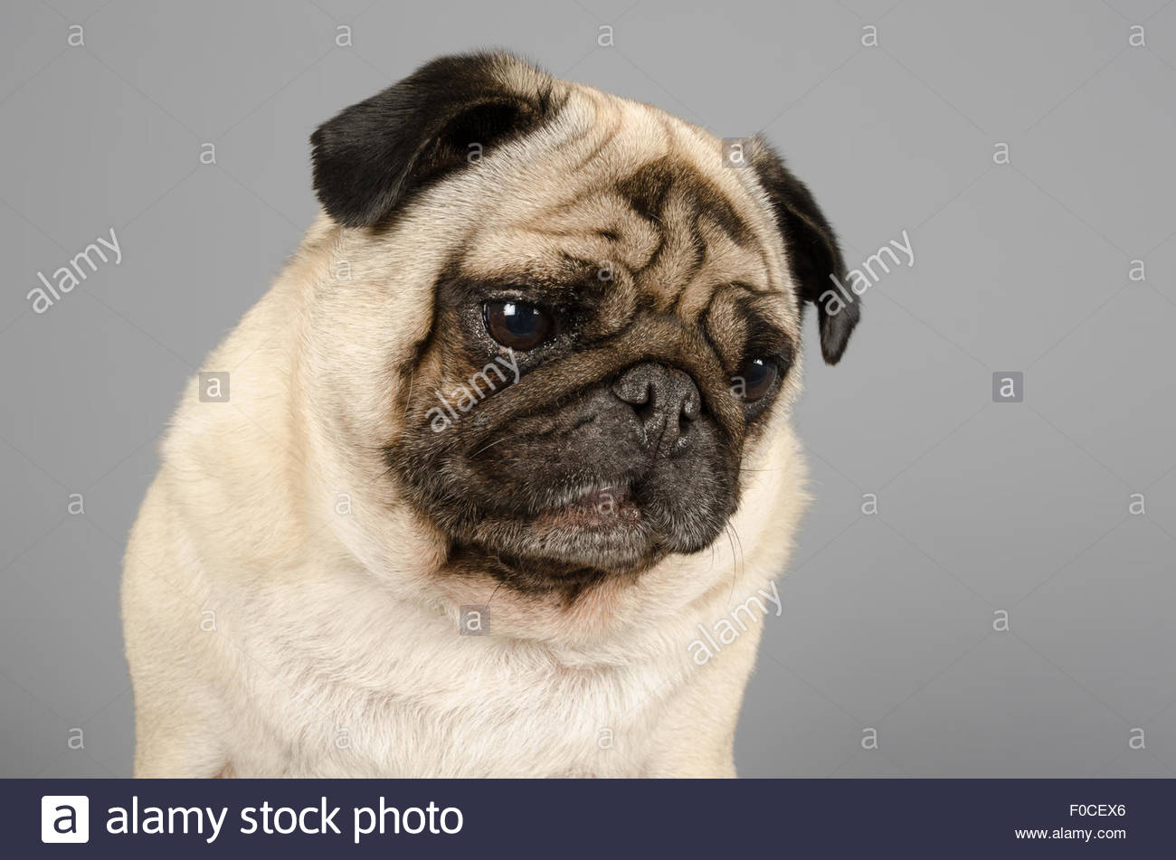 George the pug. - Stock Image