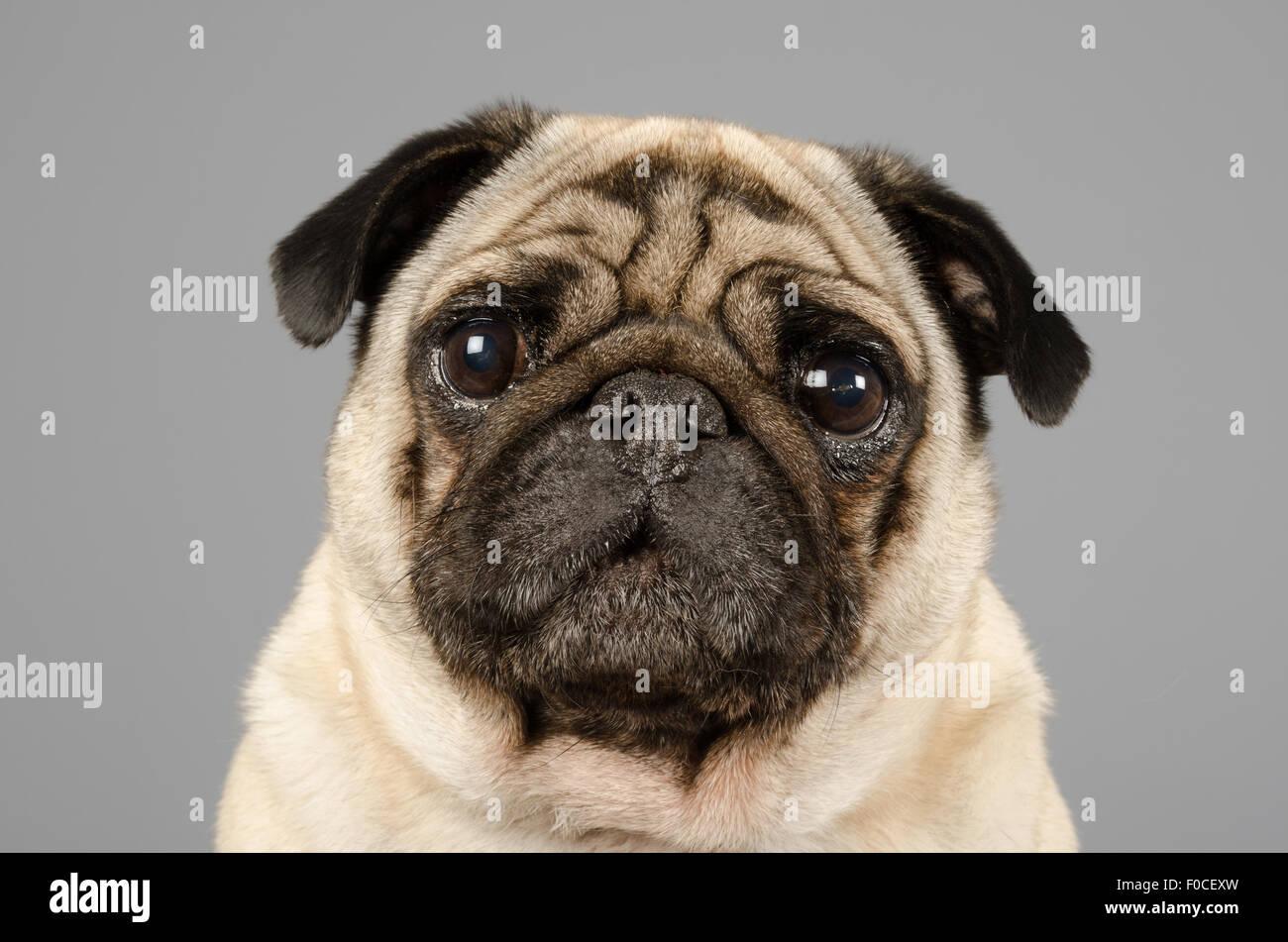 George the pug. - Stock Image