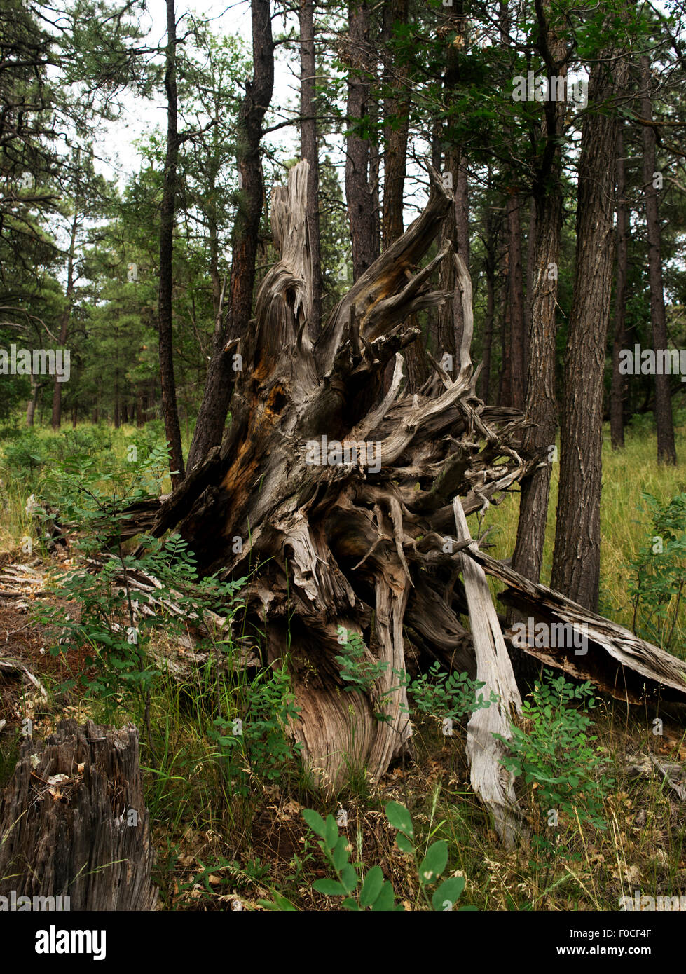 Pine tree roots, Coconino forest - Stock Image