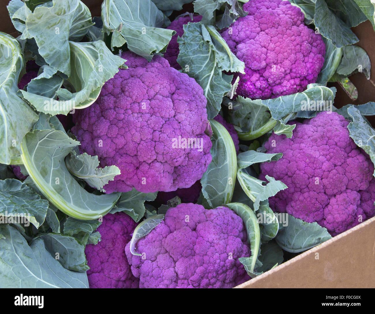 Purple Cauliflower in packing box. - Stock Image