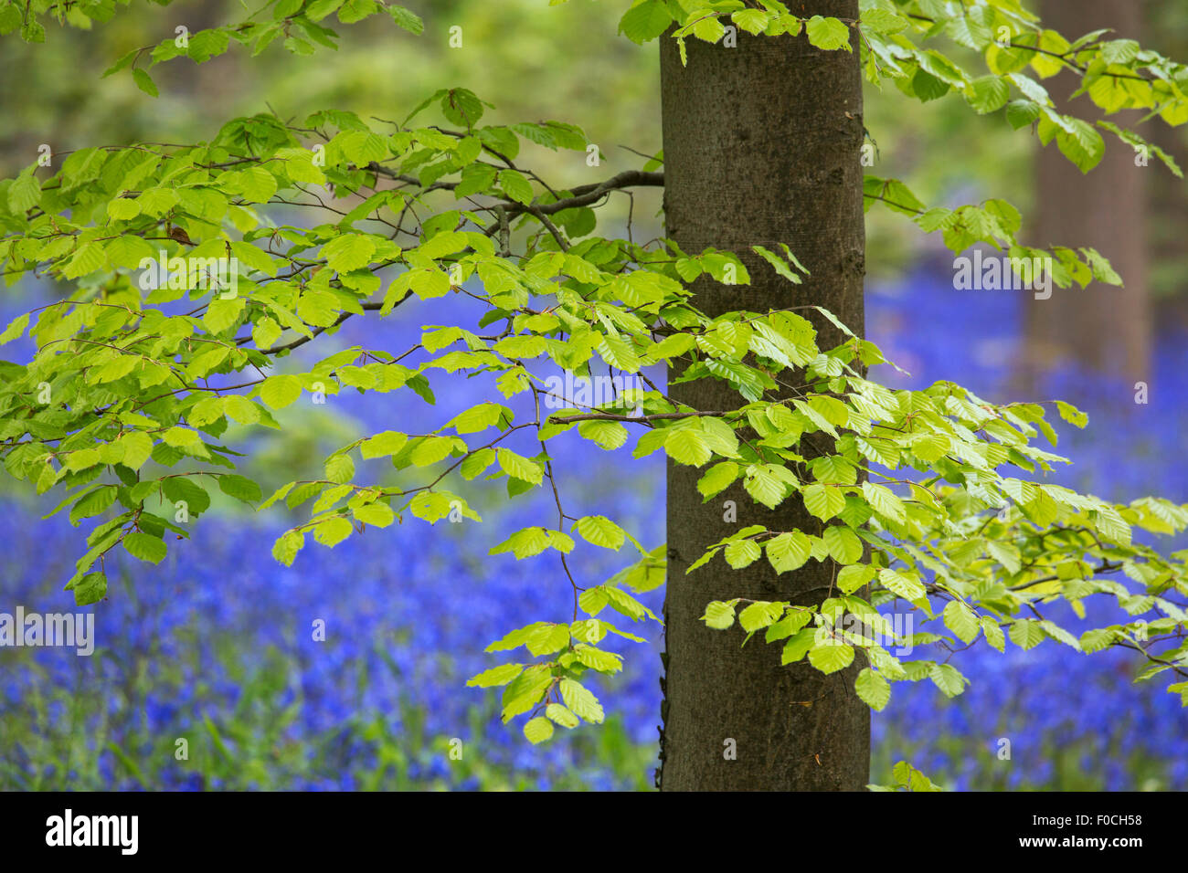 Foliage of beech tree (Fagus sylvatica) and bluebells (Endymion nonscriptus) in flower in broadleaf forest in spring - Stock Image