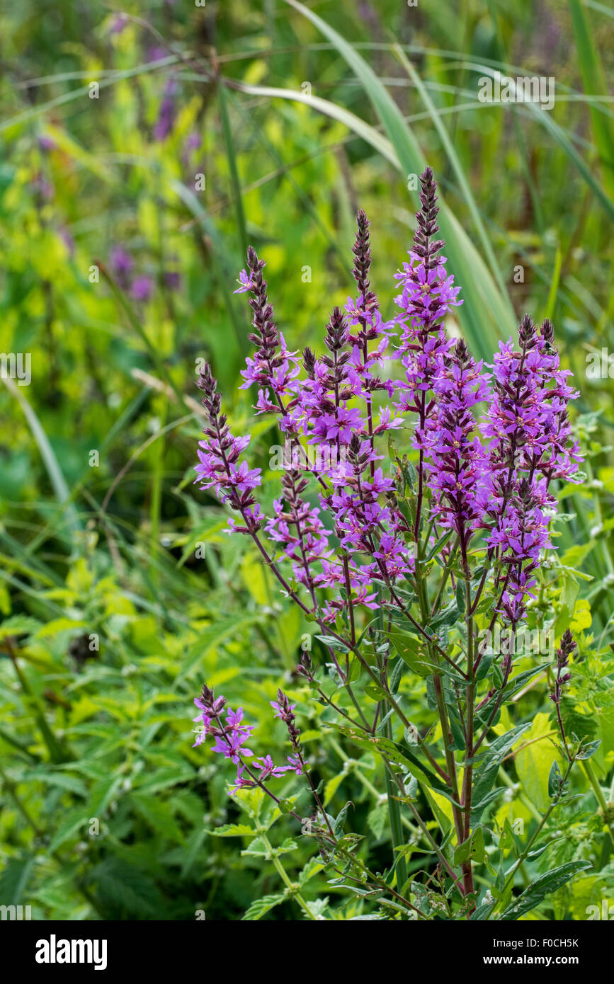 Purple loosestrife / spiked loosestrife / purple lythrum (Lythrum salicaria) in flower - Stock Image