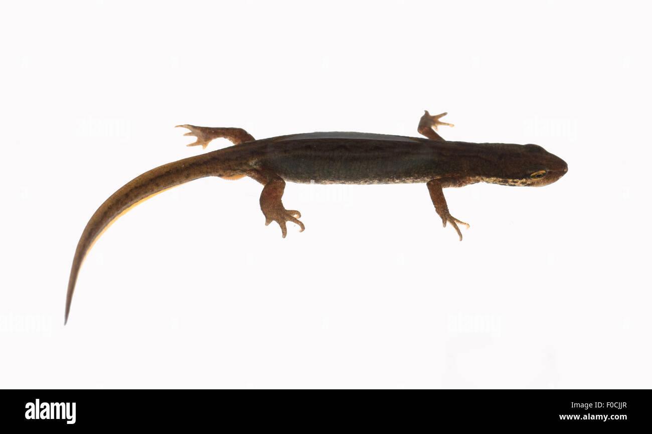 Bergmolch, Ichthyosaura, alpestris, weiblich, Wassertracht, Stock Photo