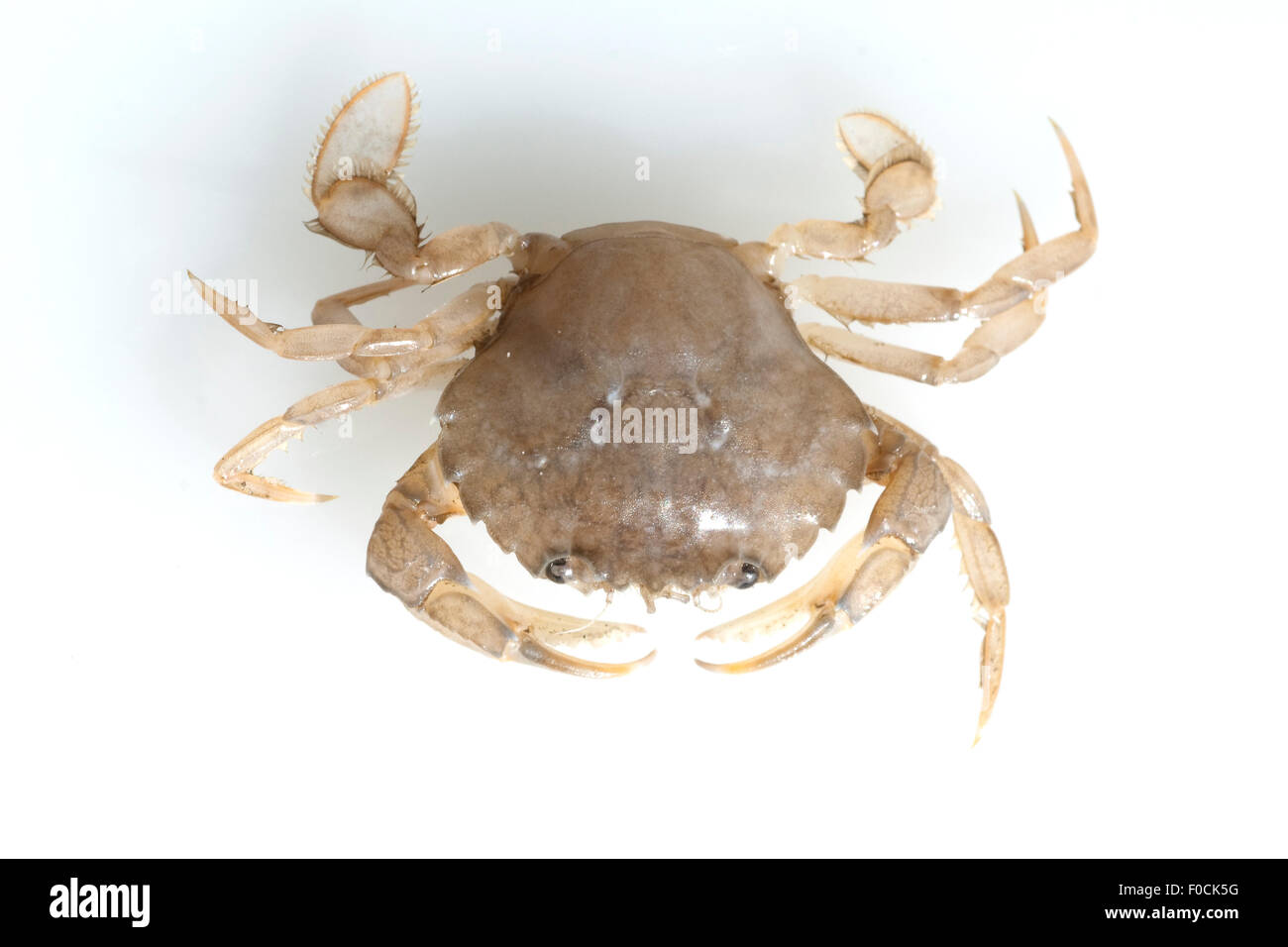 Krabbe, Brachyura, Kurzschwanzkrebs - Stock Image