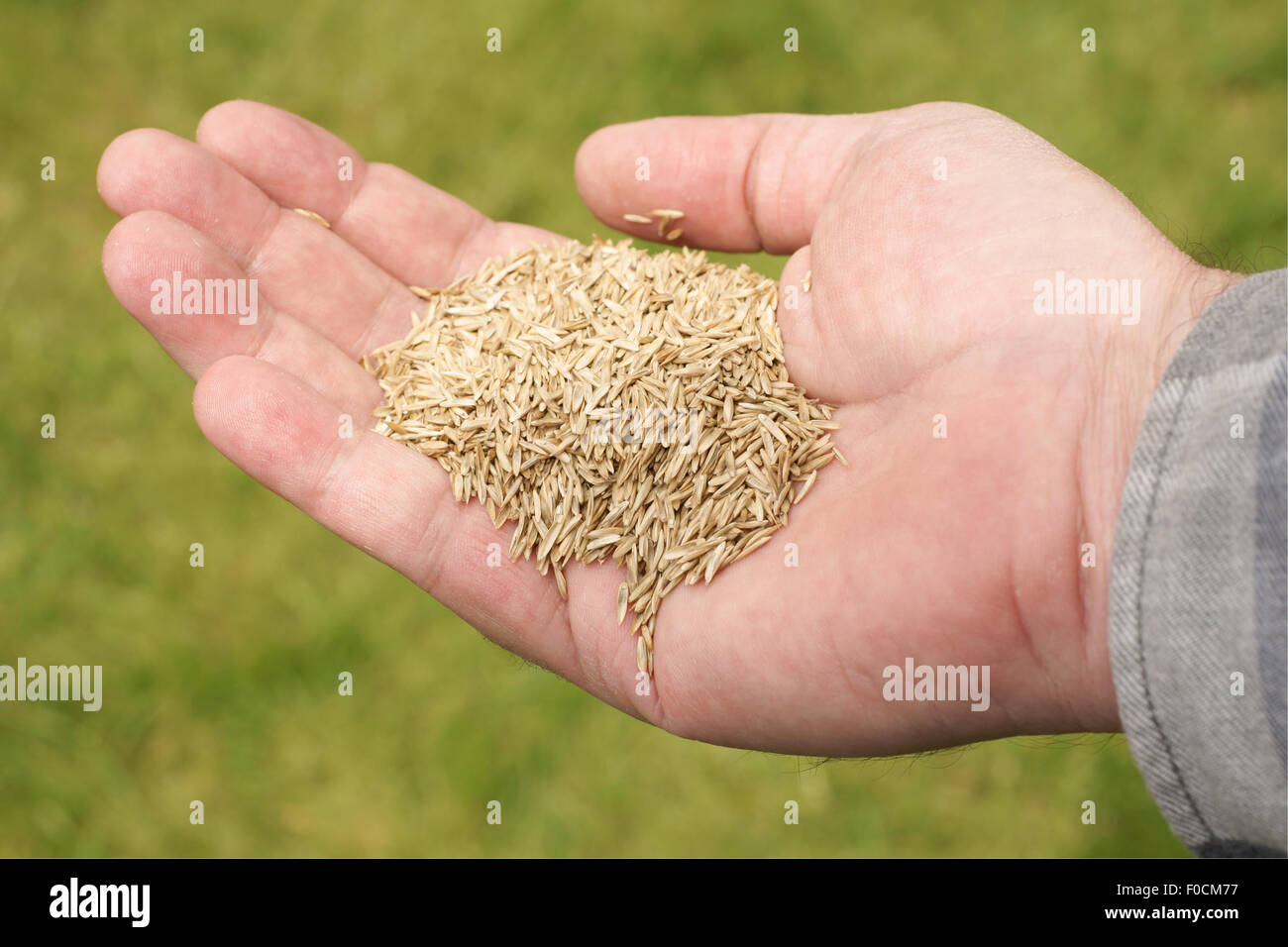 Male hand holding grass seed against a defocussed lawn background - Stock Image