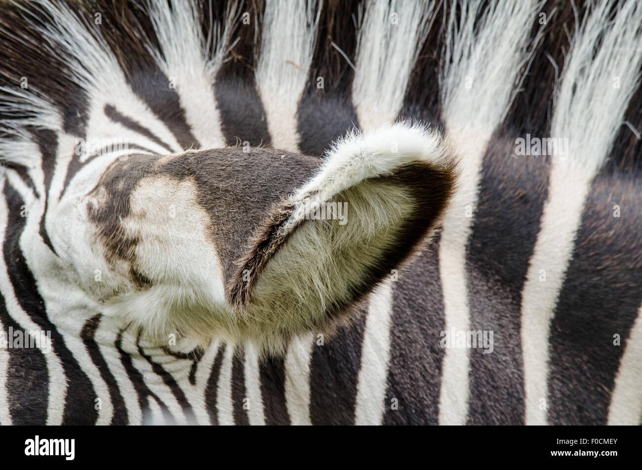 Zebra Ear and Stripes - Stock Image