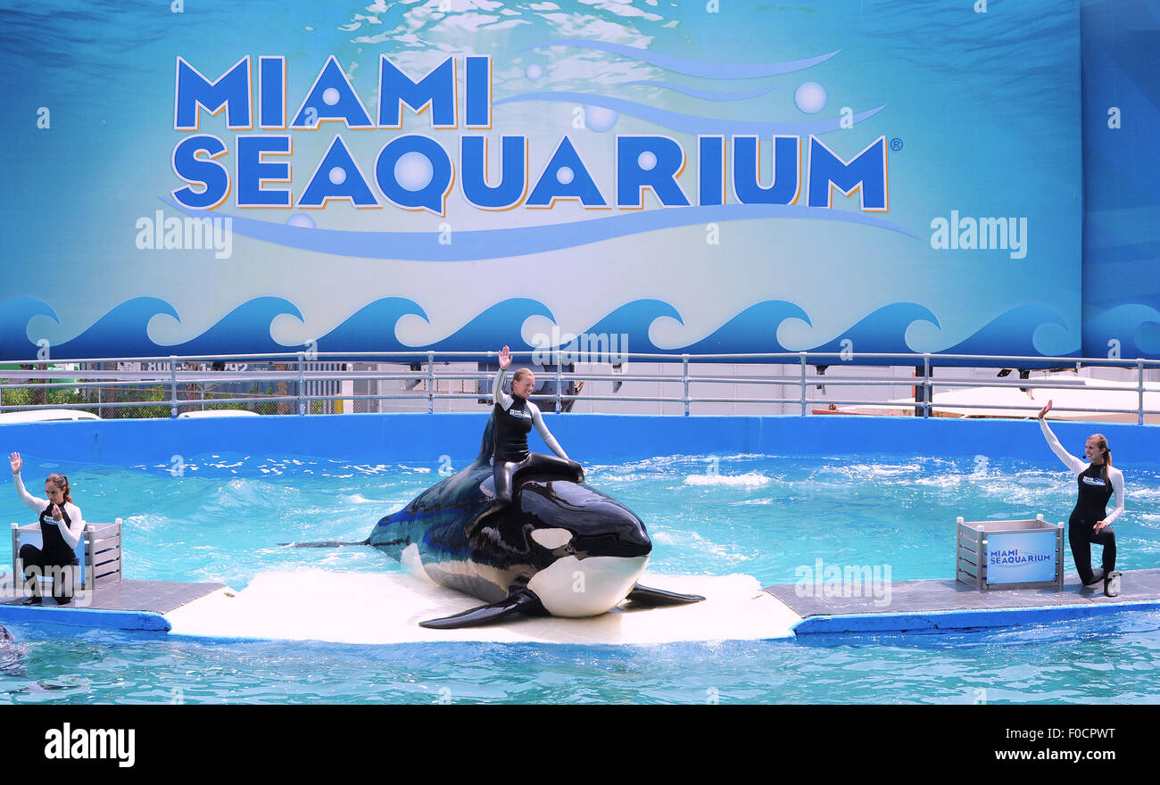March 26, 2015 - Key Biscayne, Florida, United States - Trainers perform with killer whale, Lolita, at Miami Seaquarium. - Stock Image