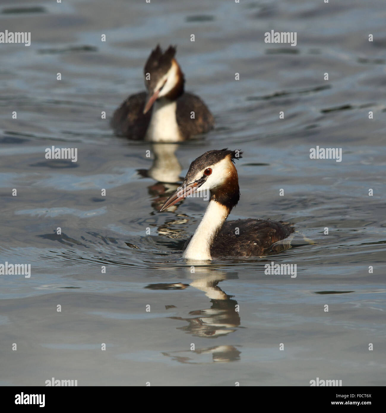 A couple of Great Crested Grebes swimming towards me - Stock Image