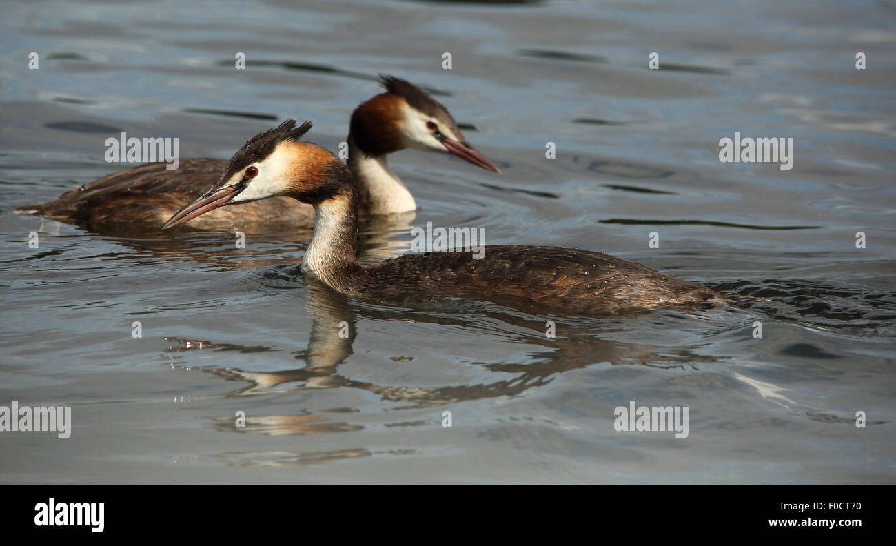 A couple of Great Crested Grebes in calm water, swimming in opposite directions - Stock Image