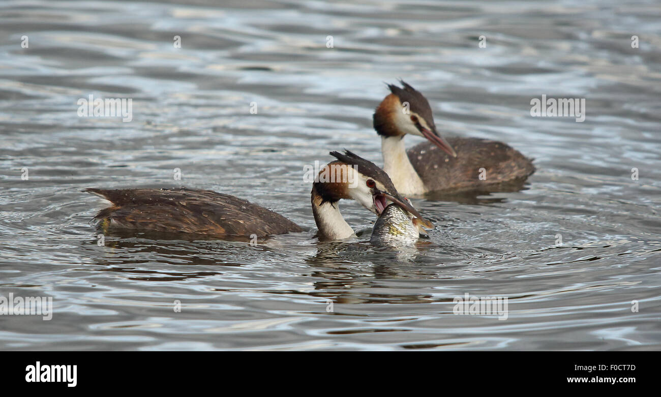 A couple of Great Crested Grebes, one with a bigger catch than it can swallow - Stock Image