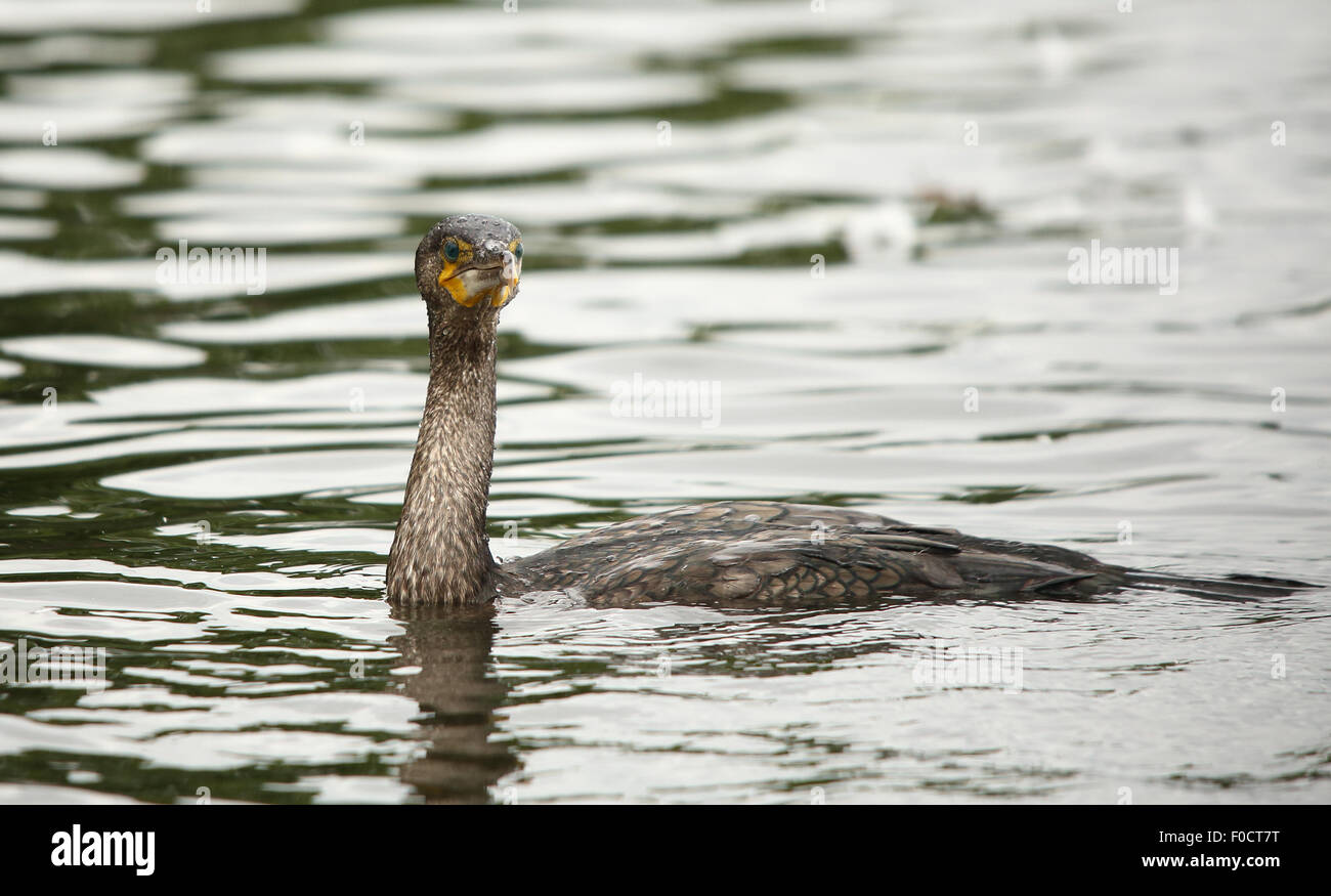 Cormorant, also known as Shag, in water just before diving - Stock Image