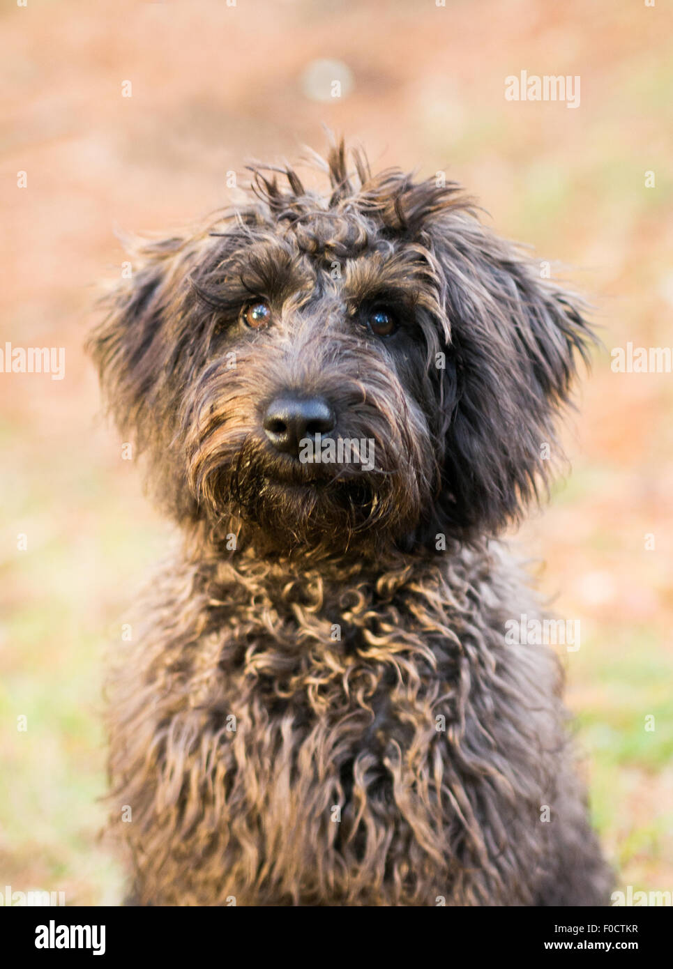 brown schnoodle dog in grassy park - Stock Image