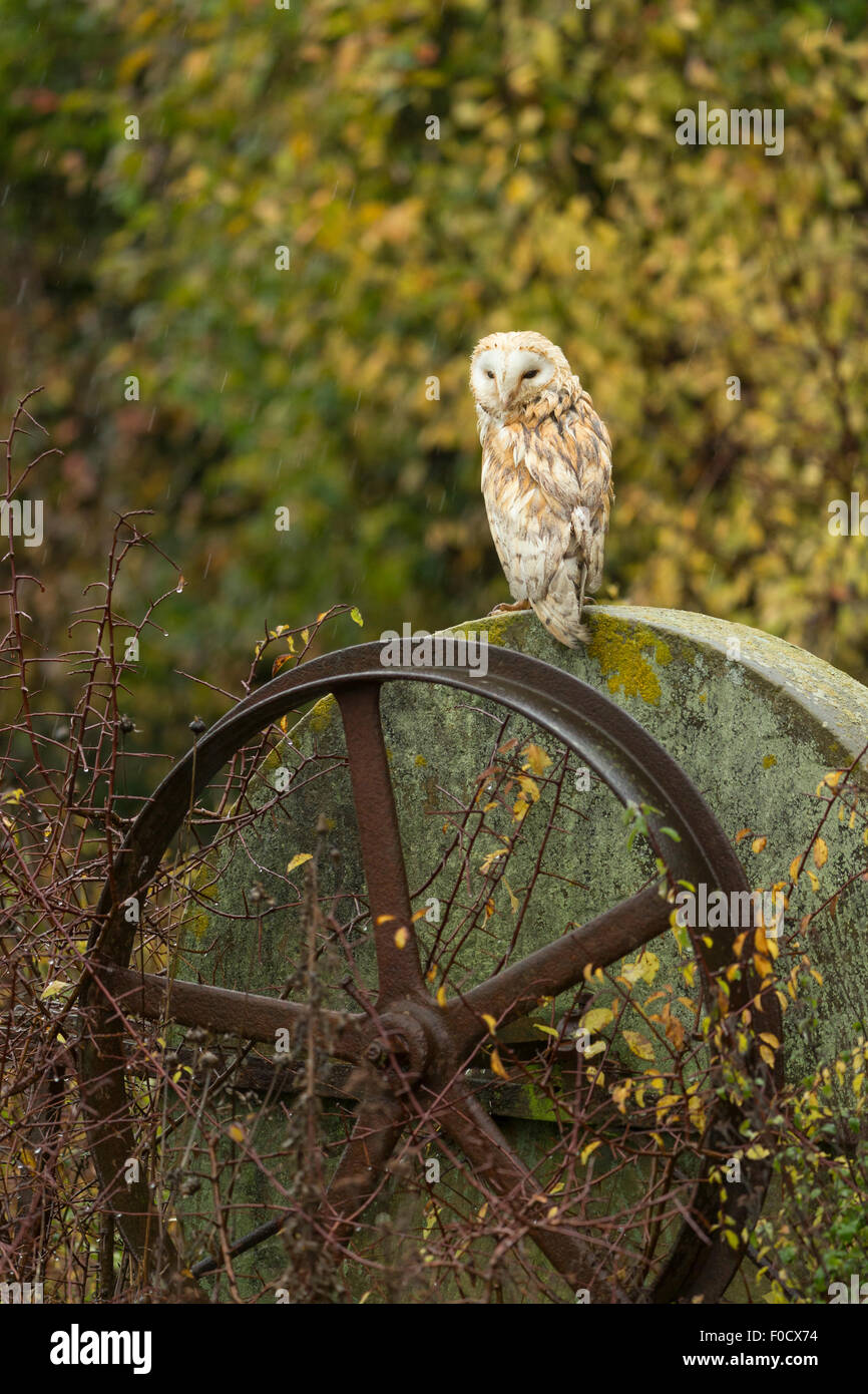Barn owl Tyto alba (captive), adult male, perched on metal wheel, Hawk Conservancy Trust, Hampshire, UK in November. - Stock Image