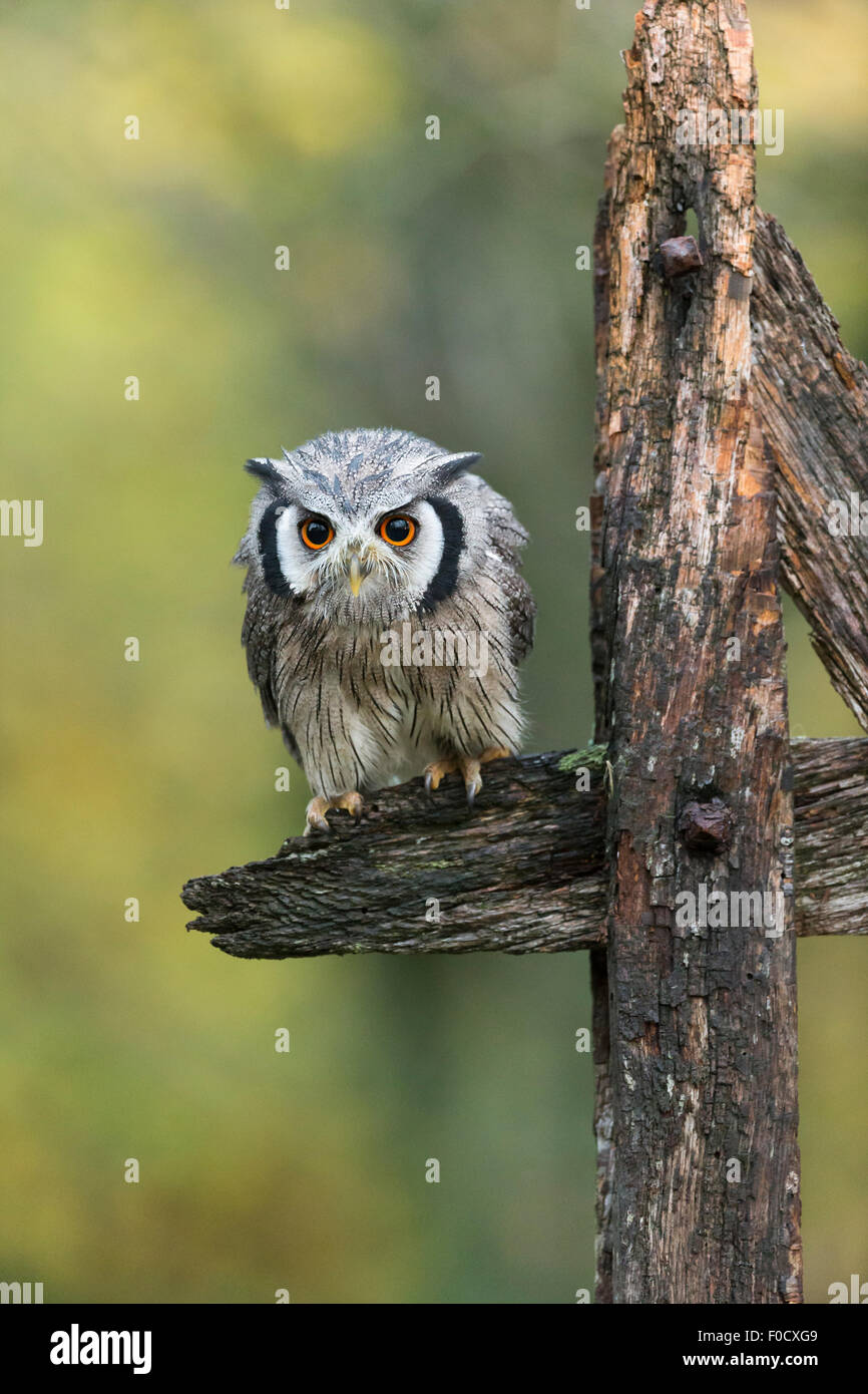 Northern white-faced owl Ptilopsis leucotis (captive), male, on wooden fence, Hawk Conservancy Trust, Hampshire, - Stock Image