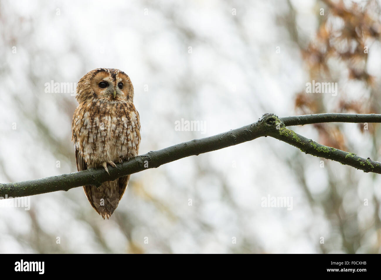 Tawny owl Strix aluco (captive), adult male, perched on branch in woodland, Hawk Conservancy Trust, Hampshire, UK - Stock Image