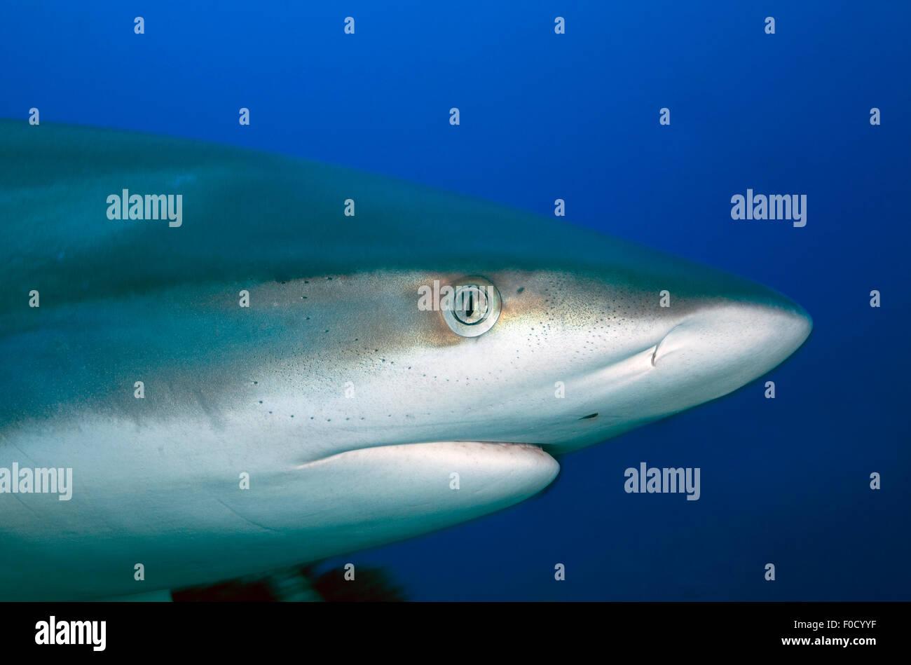 CLOSE-UP FACE OF SILVERTIP SHARK - Stock Image