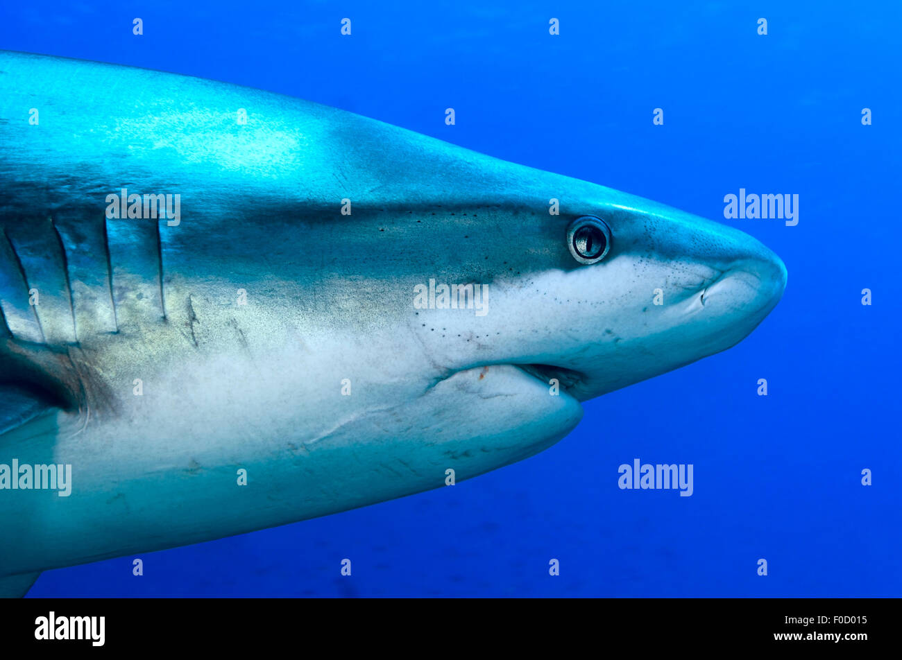 CLOSE-UP FACE OF OLD SILVERTIP SHARK - Stock Image