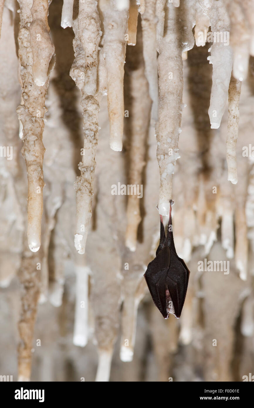 Lesser Horseshoe Bat (Rhinolophus hipposideros) hibernating in cave amongst stalactites, Grotta Monte Majore, Gennargentu - Stock Image