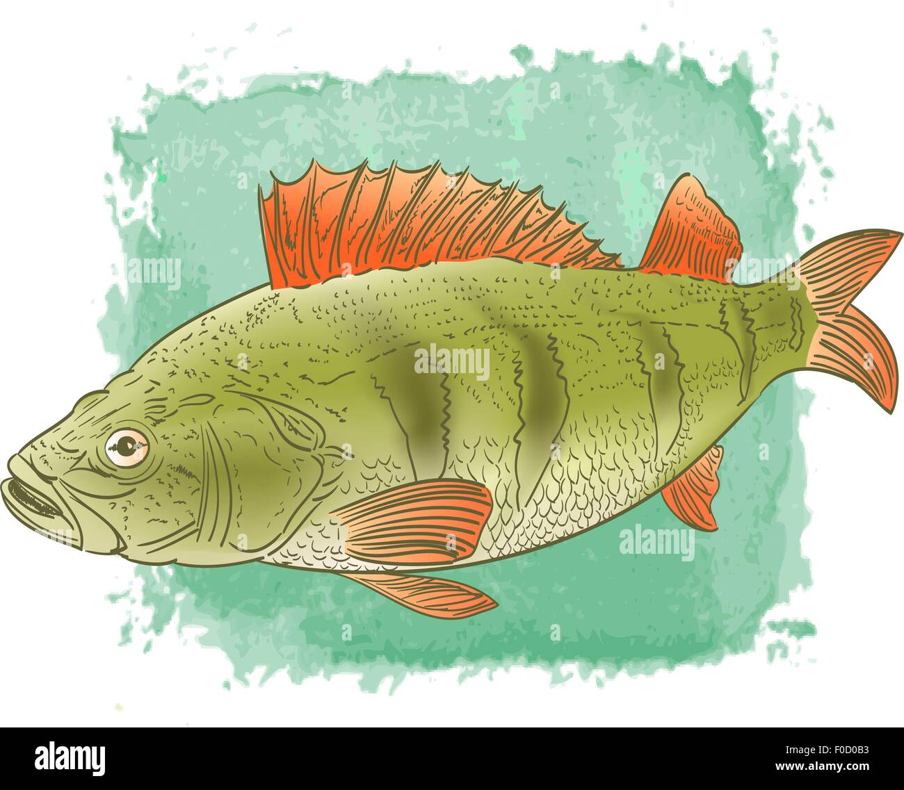freshwater fish color drawing on watercolor background Stock Vector ...