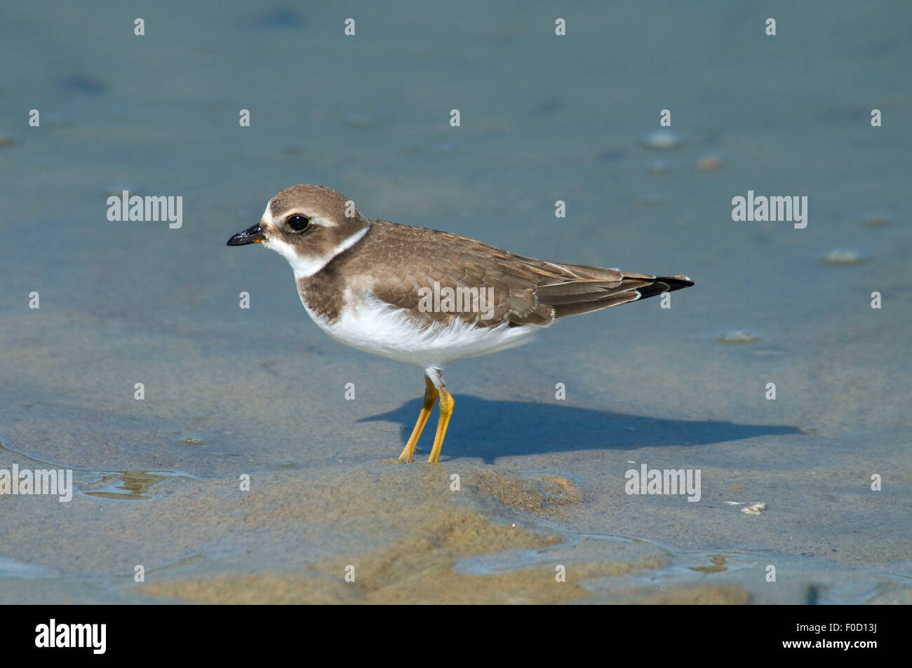 Plover, Wells National Estuarine Research Reserve, Maine - Stock Image