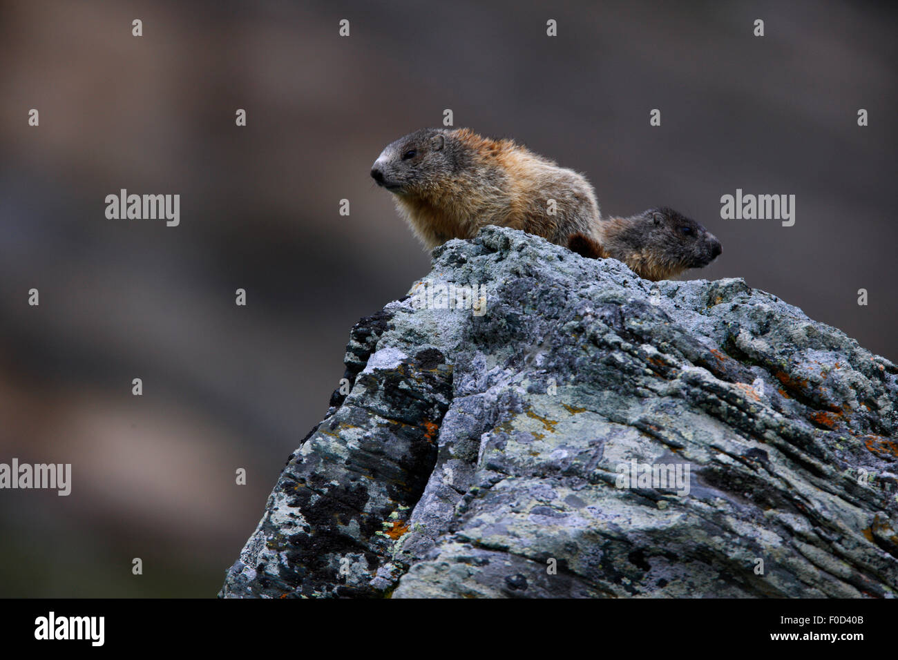 Two Alpine marmots (Marmota marmota) sitting on a rock, Hohe Tauern National Park, Austria, July 2008 - Stock Image