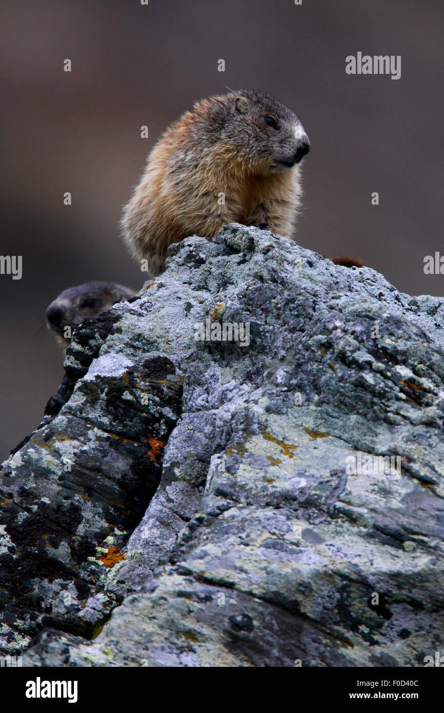 Two Alpine marmots (Marmota marmota) on a rock, Hohe Tauern National Park, Austria, July 2008 - Stock Image