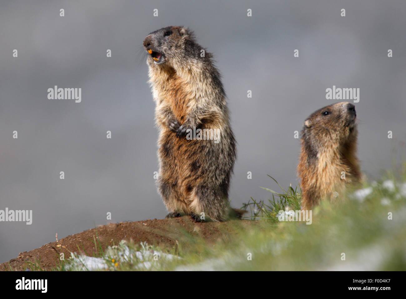 Two Alpine marmots (Marmota marmota) alert, Hohe Tauern National Park, Austria, July 2008 - Stock Image