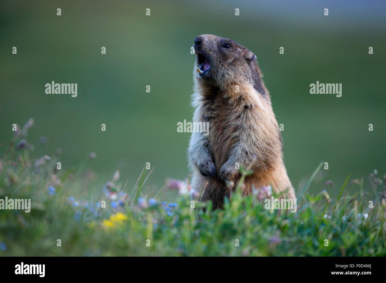 Alpine marmot (Marmota marmota) alert, Hohe Tauern National Park, Austria, July 2008 - Stock Image
