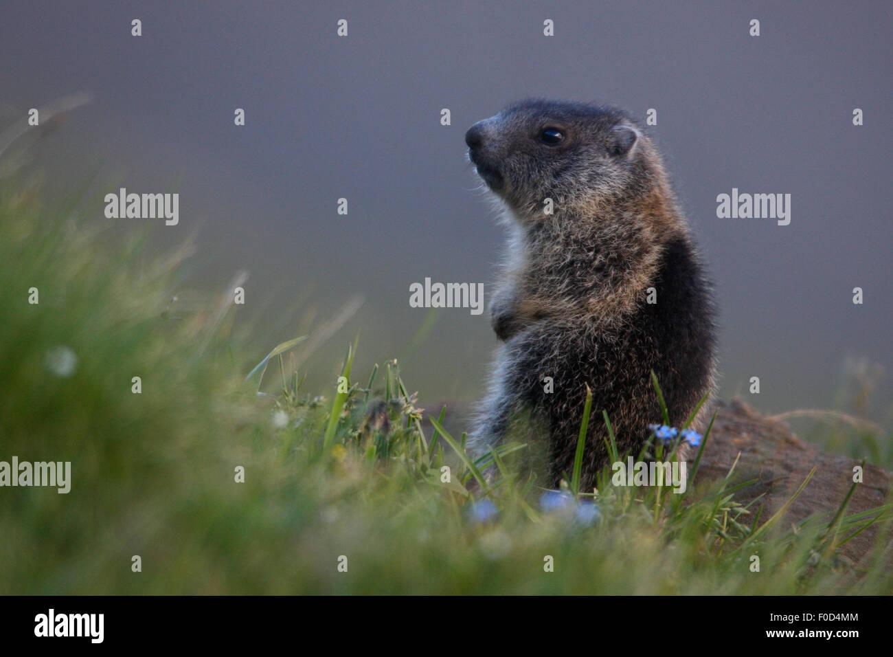 Young Alpine marmot (Marmota marmota) Hohe Tauern National Park, Austria, July 2008 - Stock Image