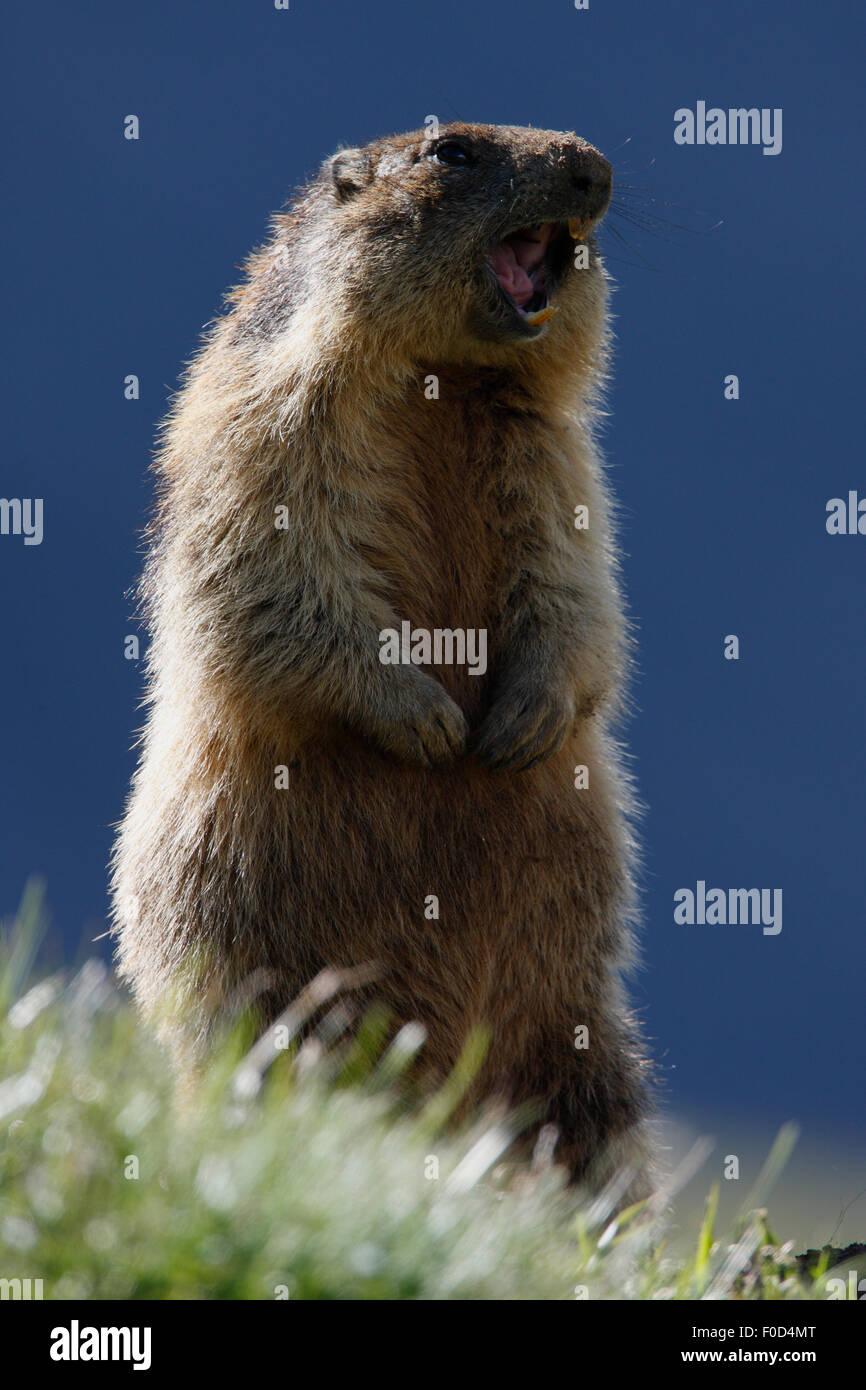 Alpine marmot (Marmota marmota) standing alert, Hohe Tauern National Park, Austria, July 2008 - Stock Image