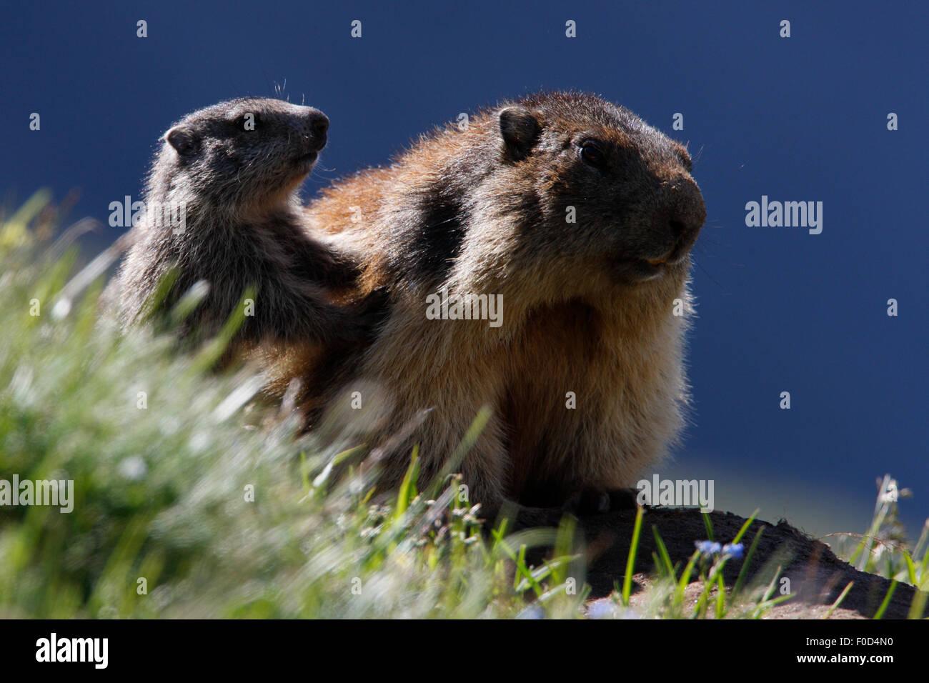 Alpine marmot (Marmota marmota) adult with young, Hohe Tauern National Park, Austria, July 2008 - Stock Image