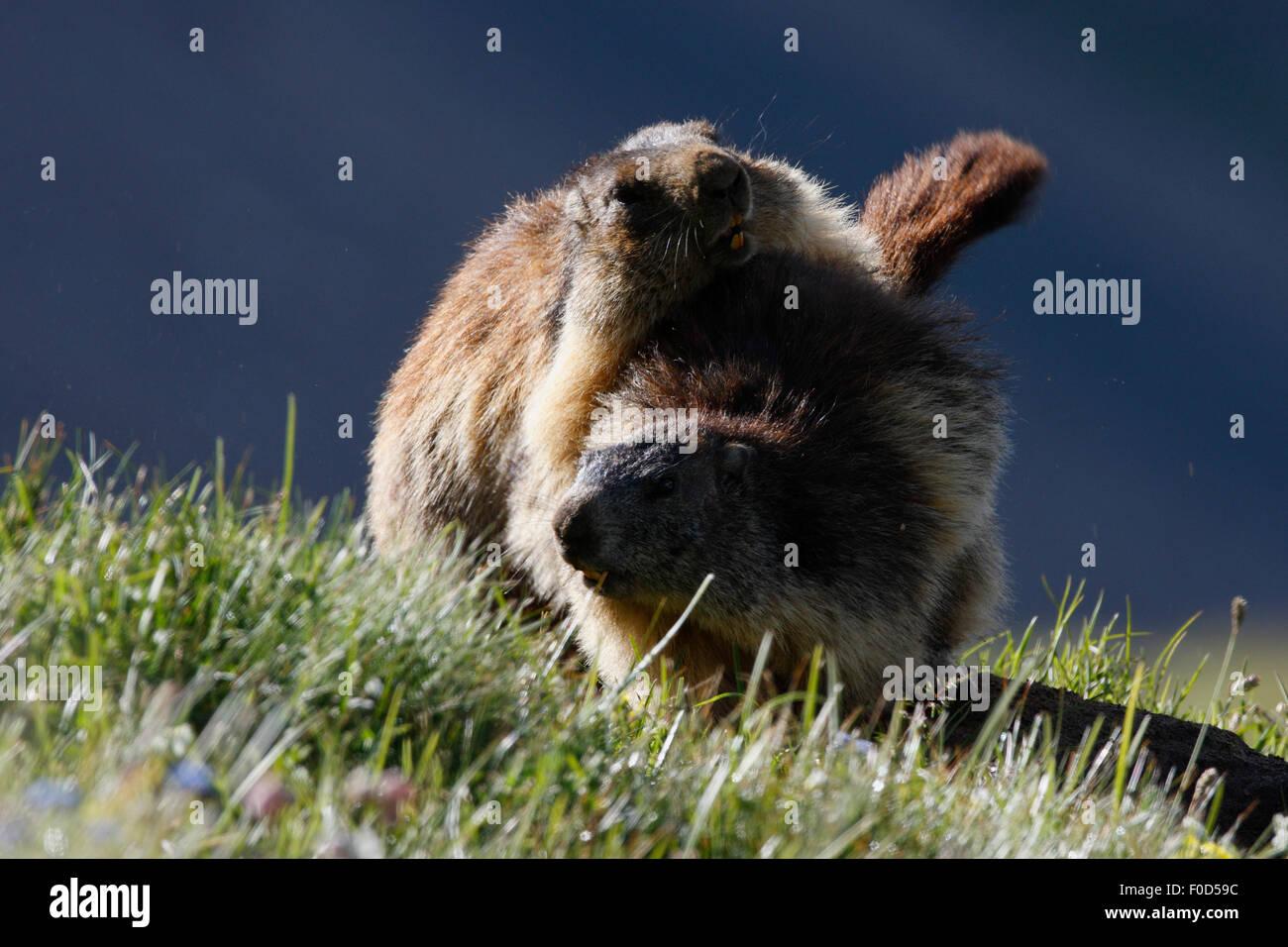 Alpine marmots (Marmota marmota) wrestling, Hohe Tauern National Park, Austria, July 2008 - Stock Image
