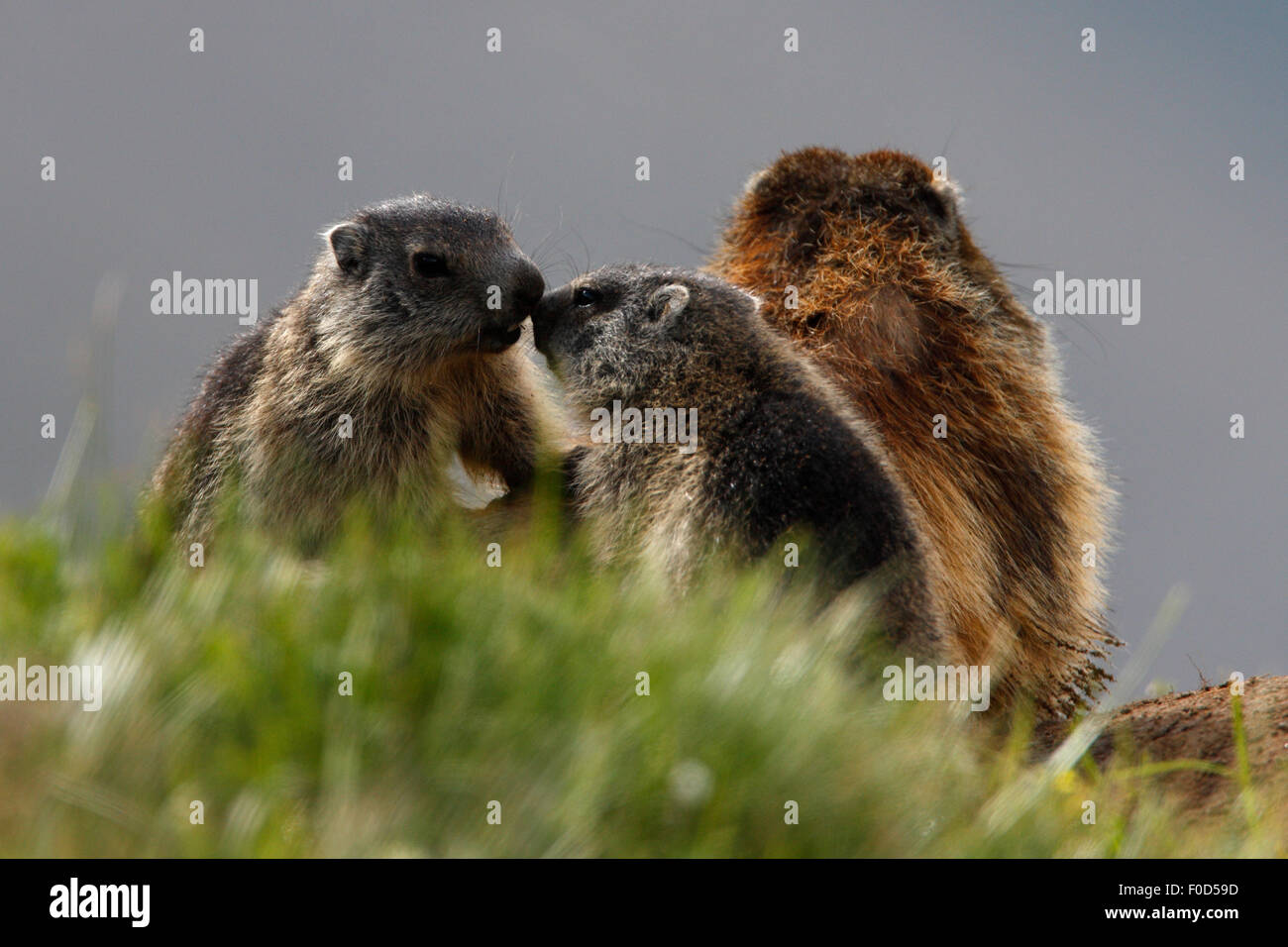 Alpine marmots (Marmota marmota) adult with young, Hohe Tauern National Park, Austria, July 2008 - Stock Image
