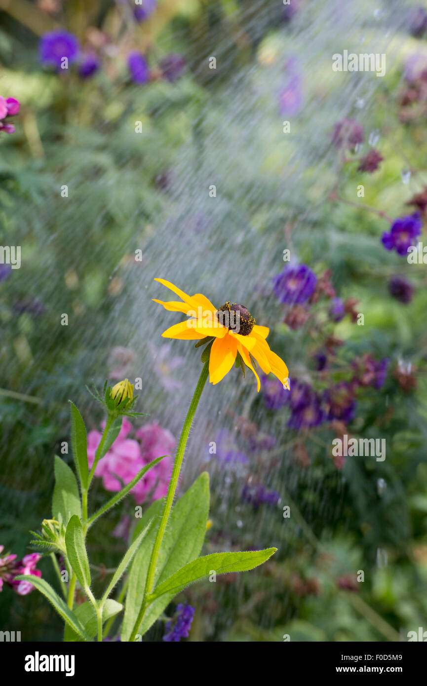 Watering a garden flower border with a hosepipe - Stock Image