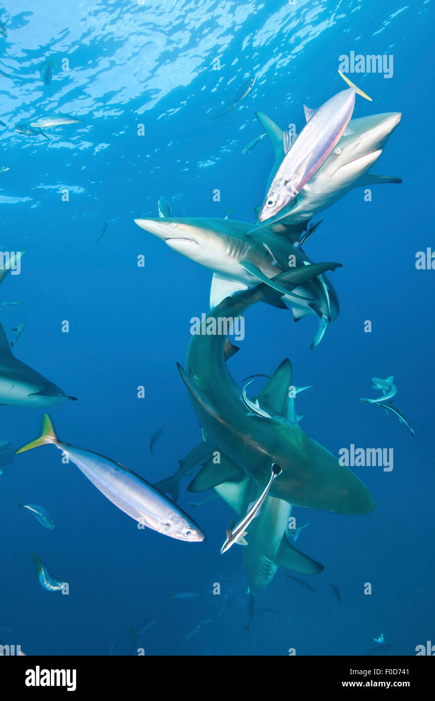 Several oceanic blacktip sharks with remora in tow and fusiliers around, Aliwal Shoal, Umkomaas, KwaZulu-Natal, Stock Photo