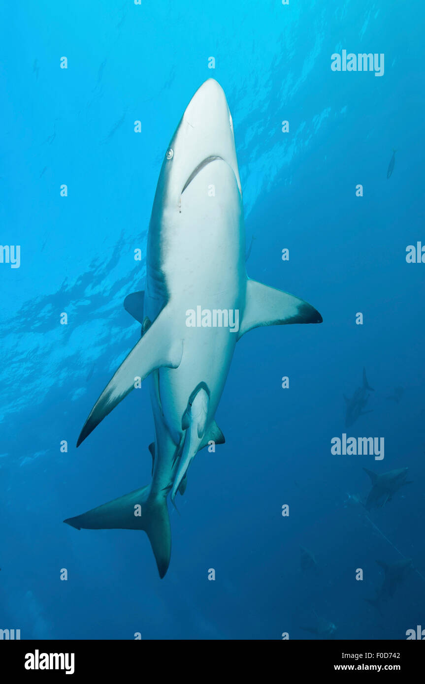 An oceanic blacktip shark swims by with remora in tow and several other sharks in the background, Aliwal Shoal, Stock Photo