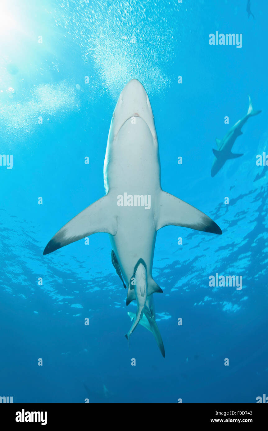 Oceanic blacktip sharks swim by near the surface with remora in tow, Aliwal Shoal, Umkomaas, KwaZulu-Natal, South Stock Photo