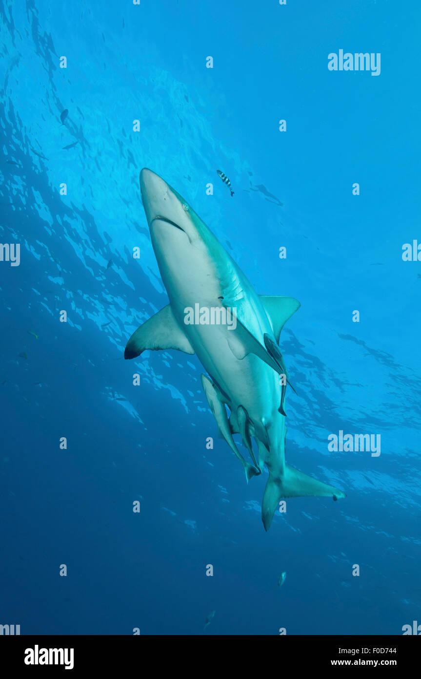 An oceanic blacktip shark swims by with remora and pilot fish in tow, Aliwal Shoal, Umkomaas, KwaZulu-Natal, South Stock Photo