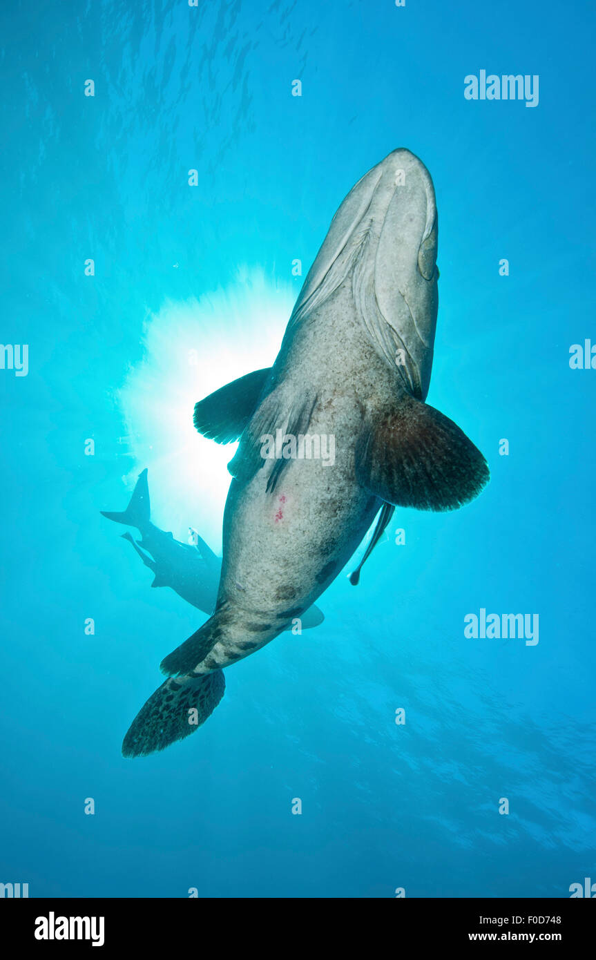 A large potato cod with remora in tow and an oceanic blacktip shark in background, against the sun, Aliwal Shoal, Stock Photo