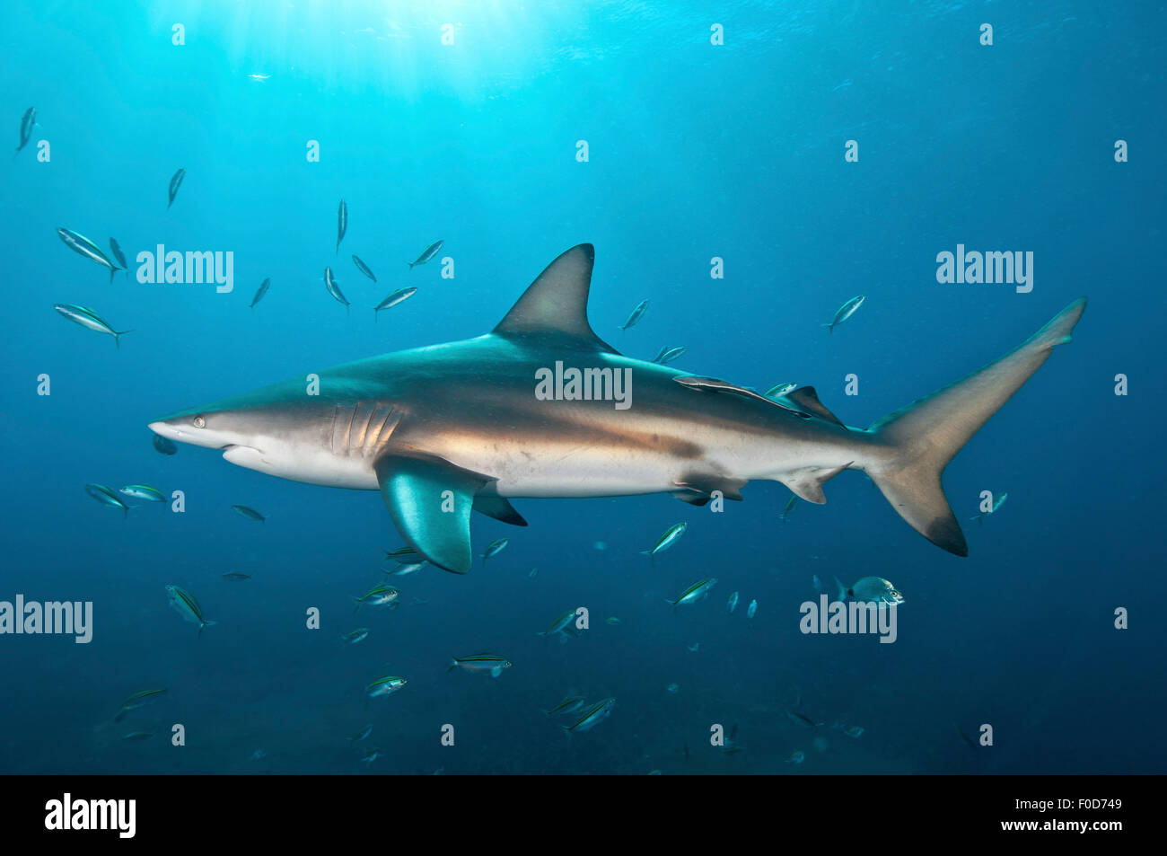 An oceanic blacktip shark swims by with remora in tow against the sunrays, Aliwal Shoal, Umkomaas, KwaZulu-Natal, Stock Photo