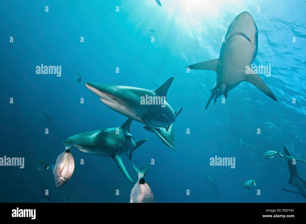 Several oceanic blacktip sharks swim by near the surface against sunrays, Aliwal Shoal, Umkomaas, KwaZulu-Natal, Stock Photo