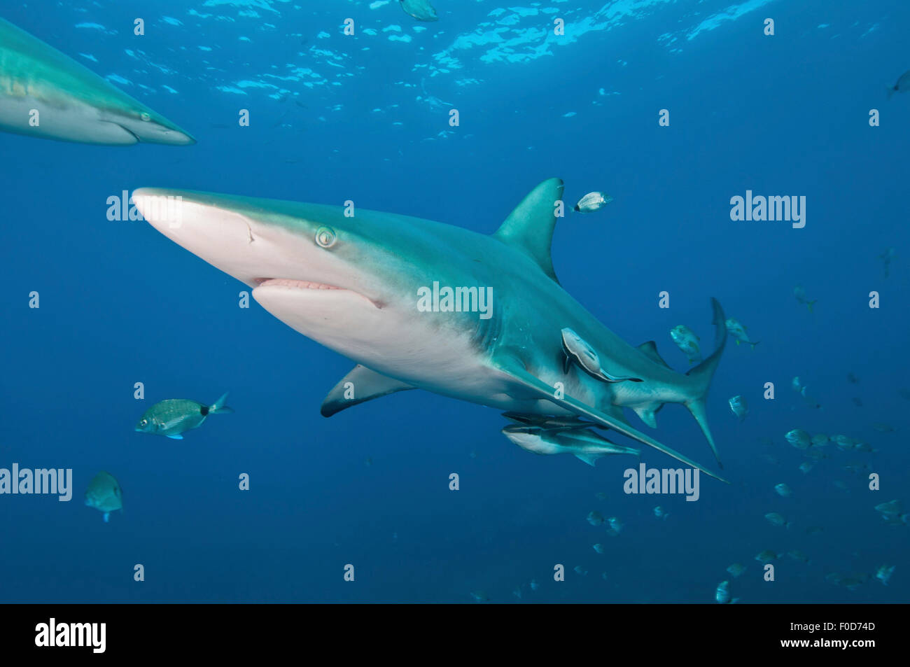 An oceanic blacktip shark swims by with remora in tow, Aliwal Shoal, Umkomaas, KwaZulu-Natal, South Africa. Stock Photo